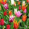 Tulipaner_ingress_1378783_28978165