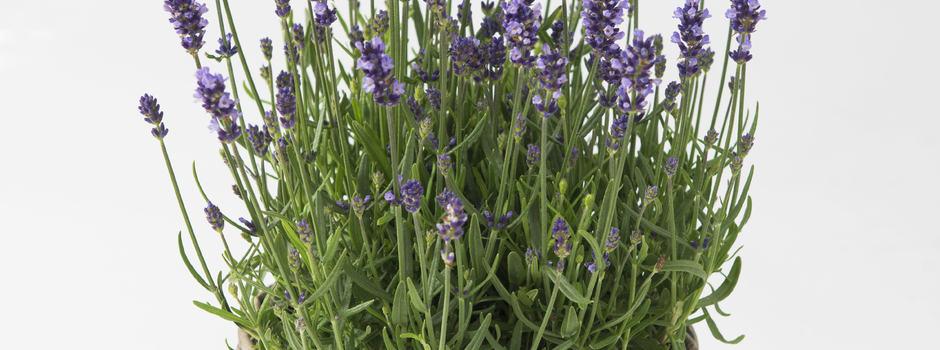 Lavendel i kurv
