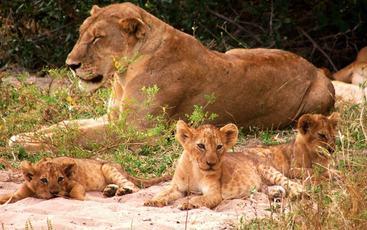 FamilieidyllLøvefamilie