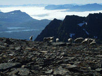 Sauer og blå fjell på toppen av Skavneskollen i Lavangen