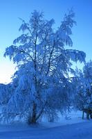 Vinterbjørk fra Moan i Lavangen