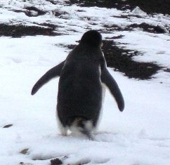 Pingvin_vignett