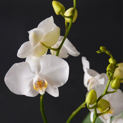 Orkide, orkideer, Orkideehilsen