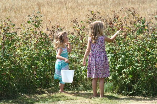 Jentene plukker bringebær