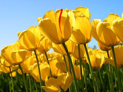 Tulipaner gule.jpg