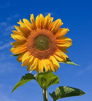 Blomst Solsikke
