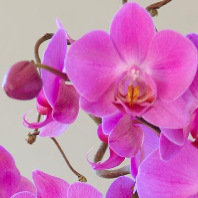 Rosa orkide.jpg