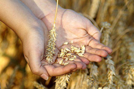 Korn i hånd - ekstremtørke