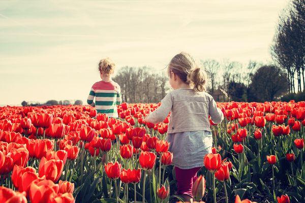 Tulipanjenter