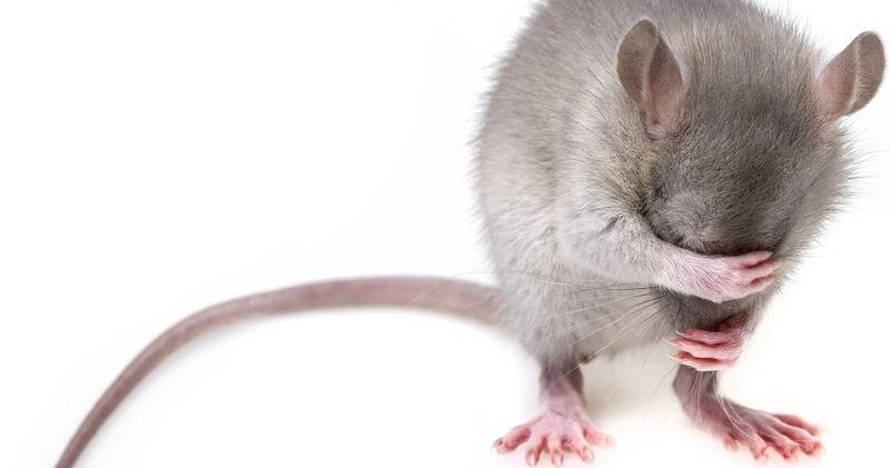 Bilde av mus som holder seg for øynene