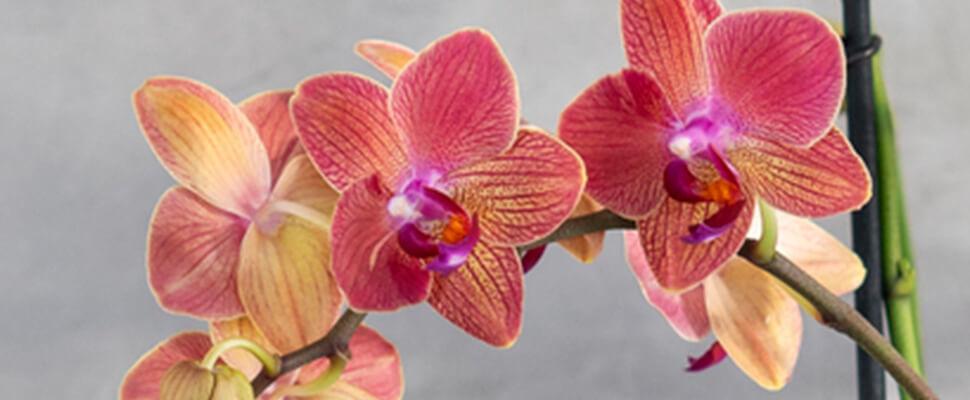 orkide5tips