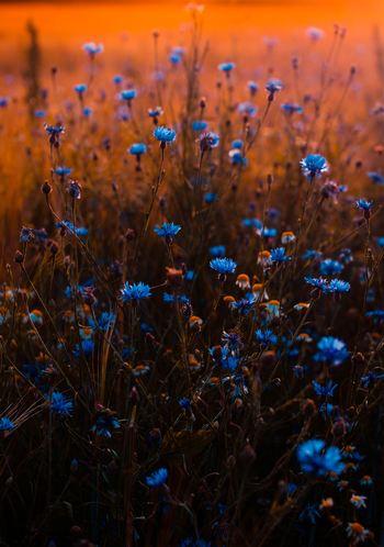 Blå blomster