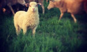 Gårdsbruk -dyr - Foto: Kristine Andreassen.jpg