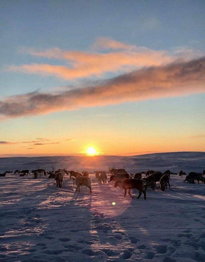 Rein på vinterbeite i solnedgang