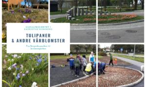 Tulipaner_og-andre-vårblomster_Signalprosjektet_Rakkestad_kommune