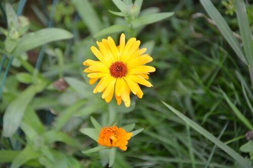 Sommer gul blomsst