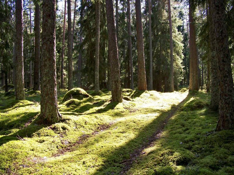 Deler av en traktorveg i en skog. Sola skinner inn mellom trærne.