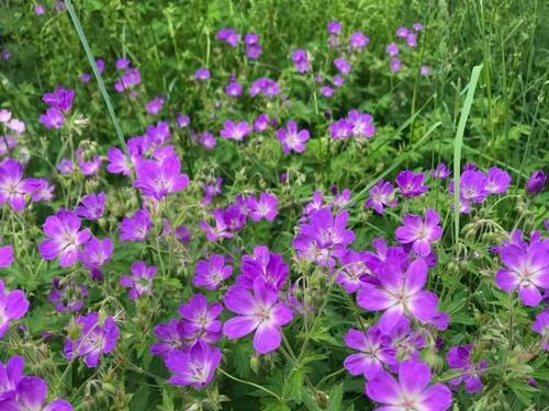 Eng med lilla blomar