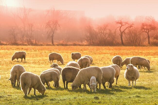 sheeps-3437467_1920