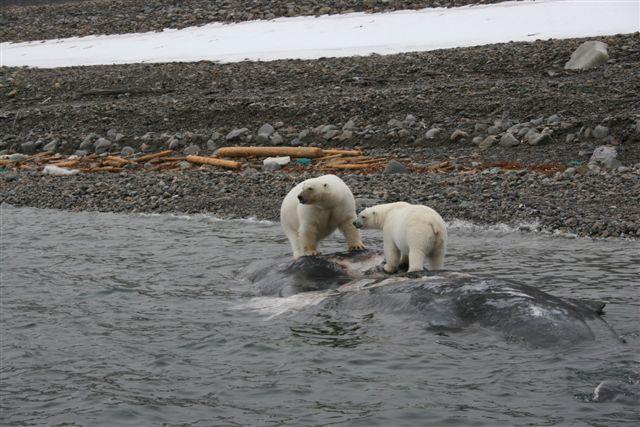 _isbjørn